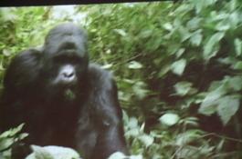 Gorilla_film_1