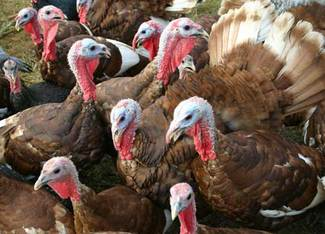 Bourbonredturkeys_3